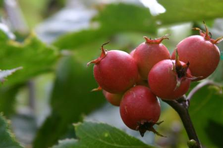 Crataegus elwangeriana 'Fire Ball'
