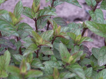 Mentha piperita 'After Eight'