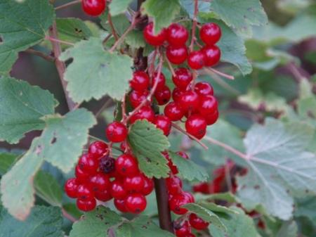 Ribes rubrum 'Rotet'