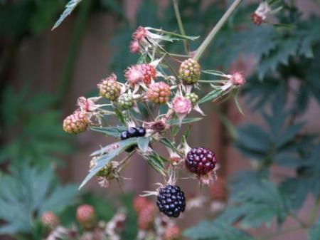 Rubus fruticosus 'Thornless Evergreen'